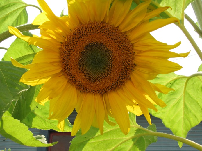 A rose by any other name might be a sunflower.